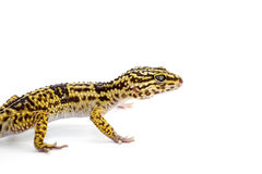 Lizard gecko isolated on white. Gecko lizard isolated on white backgtound Royalty Free Stock Image