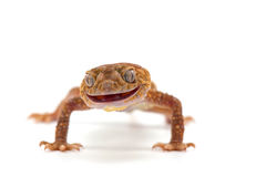 Lizard gecko isolated on white. Gecko lizard isolated on white backgtound Royalty Free Stock Photography