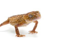 Lizard gecko isolated on white. Gecko lizard isolated on white backgtound Royalty Free Stock Photo