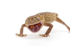 Lizard gecko isolated on white. Gecko lizard isolated on white backgtound Stock Images