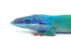 Lizard gecko isolated on white
