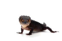 Lizard gecko isolated on white. Gecko lizard isolated on white backgtound Stock Photos