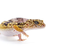 Lizard gecko isolated on white. Gecko lizard isolated on white backgtound Royalty Free Stock Images