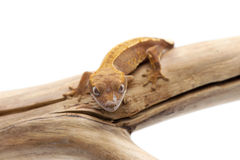Lizard gecko isolated on white. Gecko lizard isolated on white backgtound Stock Photography
