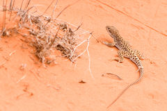 Lizard gecko running on red sand Stock Images