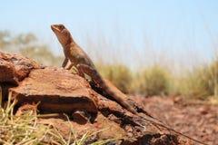 Lizard, goana, australia Stock Image