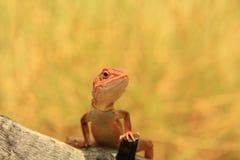 Lizard, goana, australia Stock Photos