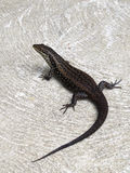 Lizard, goanna, australia Royalty Free Stock Photography