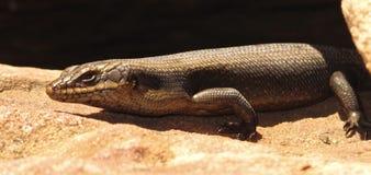 Lizard, goanna, australia Royalty Free Stock Photo