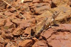 Lizard, goanna, australia Royalty Free Stock Photos