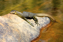Lizard, goanna, australia Stock Images