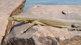 Lizard, goanna, australia Stock Photos