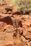 Lizard, goanna, australia Stock Photography