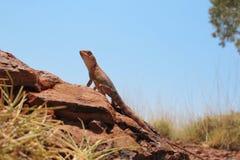 Lizard, goanna, australia Stock Photo