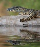 lizard Goanna balance on log Stock Photography