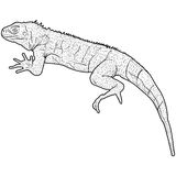 Lizard is goanna silhouette on a white background Stock Photos