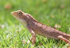 Lizard on the grass Stock Photography