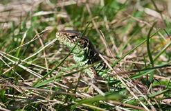 Lizard in the grass Royalty Free Stock Photos