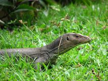Lizard in a grass Stock Photo