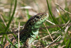 Lizard in the grass Royalty Free Stock Photography