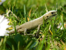 Lizard in the grass Royalty Free Stock Images