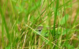 Lizard in the grass Stock Images
