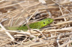 Lizard in the grass Stock Image
