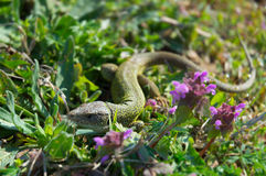 Lizard in grass Stock Images