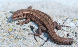 Lizard on an gray stone without a tail Stock Photography
