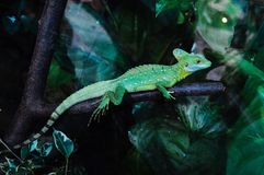 Lizard. The green lizard Stock Photography