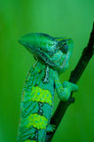 Lizard, Green Stock Photos