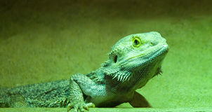 Lizard, Green Royalty Free Stock Photos