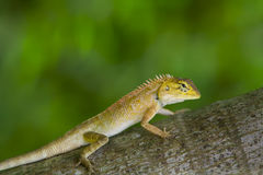 Lizard in green royalty free stock images
