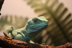 Lizard green. Zoo dragon reptile stock images