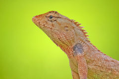 Lizard  on green background Stock Images