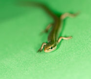 Lizard on a green background Royalty Free Stock Photography