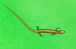 Lizard on a green background Stock Image