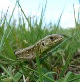 Lizard on the green grass. Lizard, green, grass, summer, basking in the sun Stock Photo