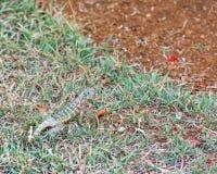 Lizard on green grass, Varadero, Matanzas, Cuba. Close-up. Royalty Free Stock Photography