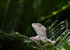 Lizard on green leaf Royalty Free Stock Photos