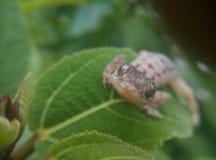 Lizard green lizard eyes. Lizard on leaf green macro Royalty Free Stock Image