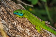 Lizard, Green Lizard, Reptile Stock Images