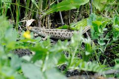 Lizard. On a green meadow in the thickets stock photos