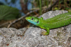 Lizard Stock Images