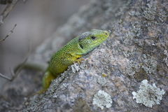 Lizard. Green lizard sits on а rock Royalty Free Stock Images