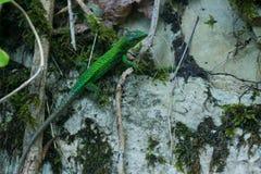 Lizard. Green lizard sitting on a rock stock photography
