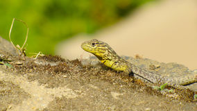 Lizard. Green Lizard on the sun Stock Image