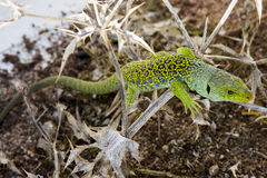 Lizard. Green lizard  on a thistle Stock Photo