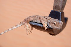 Lizard on Hammer. Lizard warming itself on a geological hammer in the Libyan Sahara Desert royalty free stock image