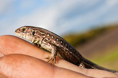 Lizard in hand Royalty Free Stock Images